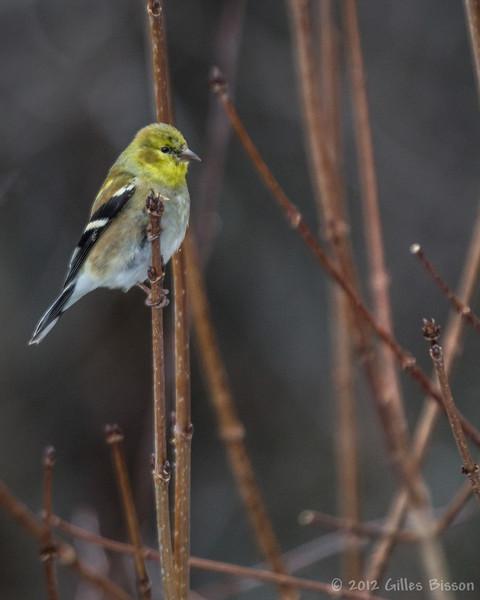 American Goldfinch, March 10 2012, Algonquin Park