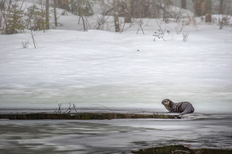 River Otter, Algonquin Park, March 1, 2017, Canon 7D Mark II, 1/500, F7.1, ISO 640