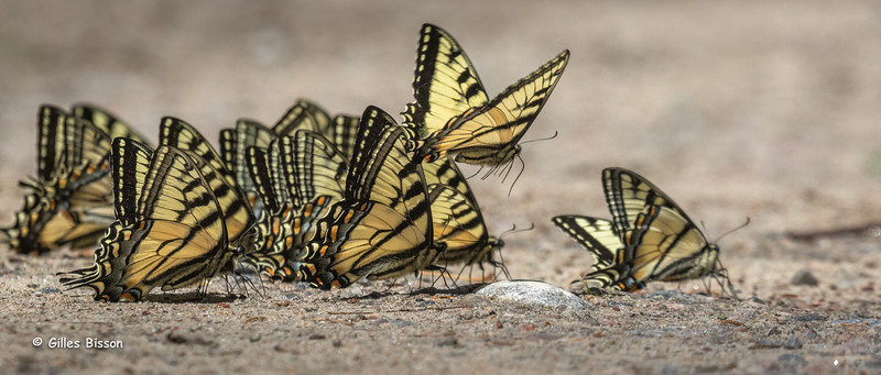 Canadian Tiger Swallowtail, June 01, 2015, Algonquin Park, Canon 7D Mark II, 100-400mm, 1/2000,F10,ISO 800