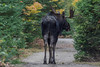 Bull Moose, September 26 2012, Algonquin Park