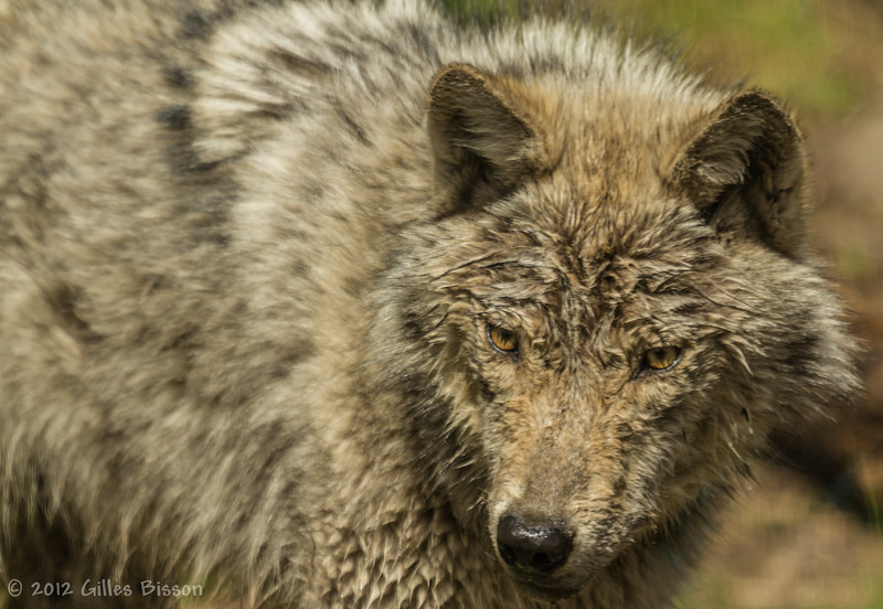 Halliburton Wolf Centre, April 28 2012