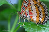 Butterfly, Red Lacewing, Native of Philippines, Niagara Parks Butterfly Conservatory, April 28 2013, #5302