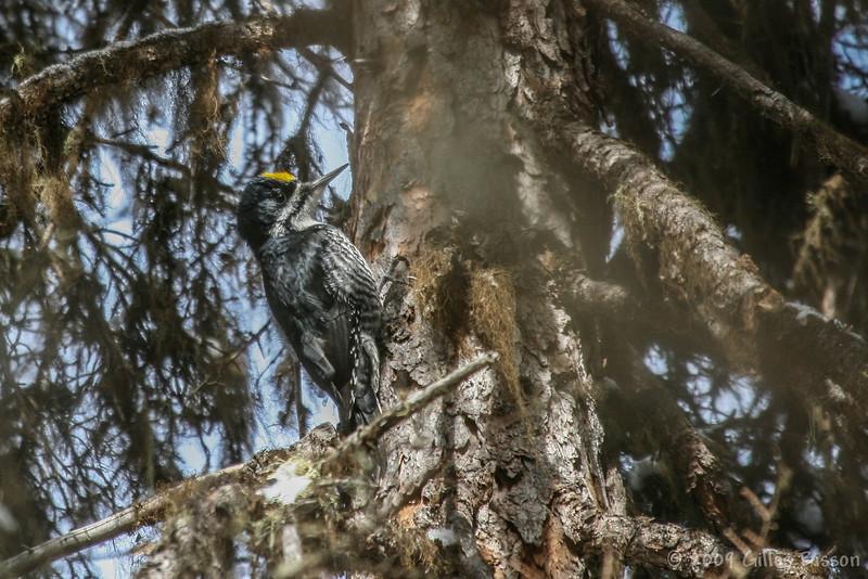 Black-backed Woodpecker, April 05 2009, Remi Lake
