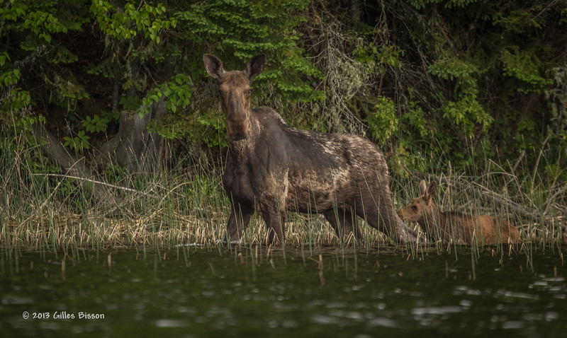 Cow Moose with calf, Remi Lake, Moonbeam, #0864, Canon T3i,1/800-f5.6-ISO 400, LR5
