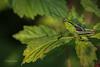 Grasshopper, July 10 2015, Rene Brunelle Provincial Park, Moonbeam Ontario, Canon 6D, 100mm Macro, 1/160, F8.0, ISO 320