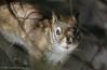 Red Squirrel,April 2009, Remi Lake
