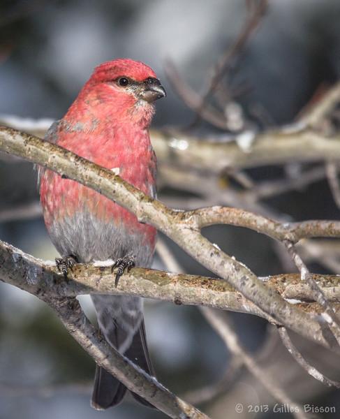 Male Pine Grosbeak, Feb 04 2012, Remi Lake