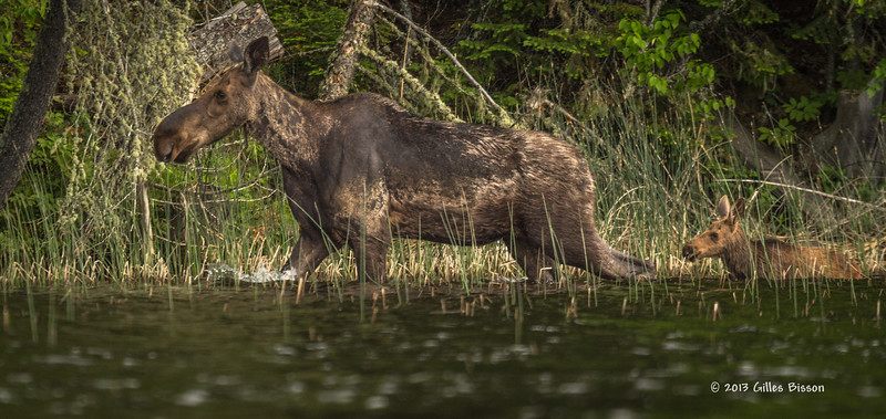Cow Moose with calf, Remi Lake, Moonbeam, #0870, Canon T3i,100-400mm,1/800-f5.6-ISO 400, LR5