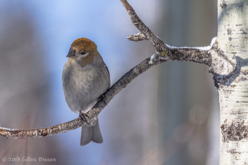 Female Pine Grosbeak, Feb 04 2012, Remi Lake