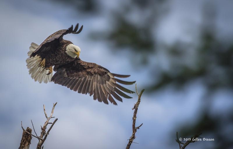 Bald Eagle, Remi Lake, Moonbeam, June 28 2013, #0951, Canon T3i, 1/1000-f5.6-ISO 200,LR5