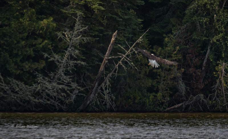 Bald Eagle, July 11 2015, Remi Lake, Moonbeam Ontario, Canon 7D Mark II, 1/1250, F7.1, ISO 320
