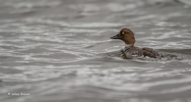 Common Goldeneye duck, Remi Lake, Aug 1 2014, Canon T3i,1/1000,F5.6, ISO800