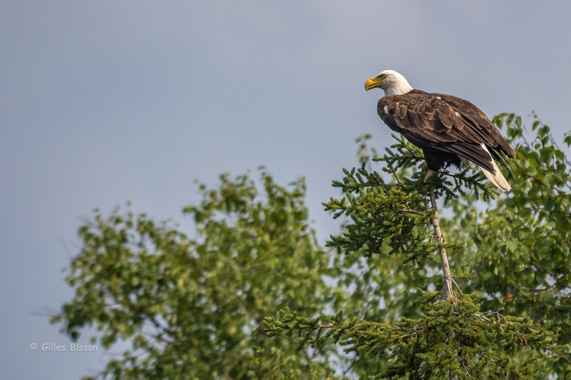 Bald Eagle, July 11 2015, Remi Lake, Moonbeam Ontario, Canon 7D Mark II, 1/1250, F7.1, ISO 250