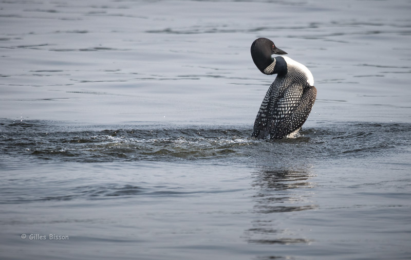 Common Loon doing the walk, July 11 2015, Remi Lake, Rene Brunelle Provincial Park, Canon 7D Mark II, 100-400 mm, 1/1250, F7.1, ISO 250