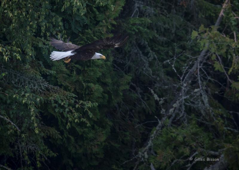 Bald Eagle, July 11 2015, Remi Lake, Moonbeam Ontario, Canon 7D Mark II, 1/1250, F7.1, ISO 500
