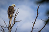 Bald Eagle, Remi Lake, Moonbeam, June 28 2013, #0946, Canon T3i, 1/1000-f5.6-ISO 200,LR5
