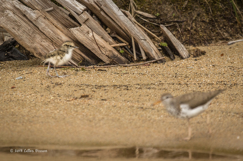 Spotted Sandpiper Chick, Remi Lake, June 28 2013, #1044, Canon T3i, 100-400 mm,1/1250-f5.6-ISO 800, LR5