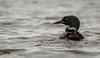 Common Loon, Whitewater lake, Azilda, Ontario, June 20 2013, Canon T3i 1/1250-F5.6-ISO 400, #0218