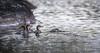 Juvenile Mergansers, Rene Brunelle Provincial Park, Remi Lake, Moonbeam, Ontario, July 22, 2016, Canon 7D Mark II, 1/1250, F7.1, ISO 800