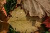 Fall Leaves, September 22 2009, Remi Lake