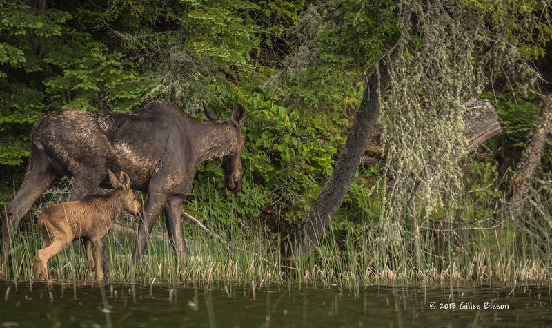 Cow Moose with calf, Remi Lake, Moonbeam, #0880, Canon T3i,100-400mm,1/800-f5.6-ISO 400, LR5