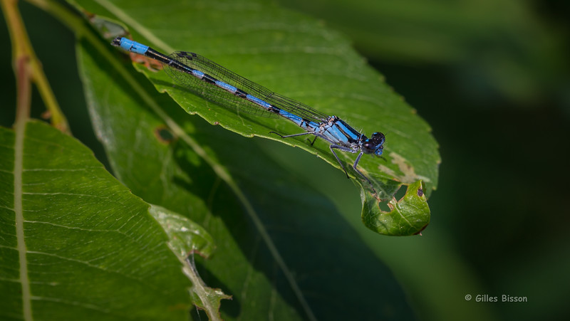 Narrow-winged Damselfly , July 11 2015, Remi Lake, Rene Brunelle Provincial Park, Canon 6D , 100mm Macro, 1/125, F9.0, ISO 250