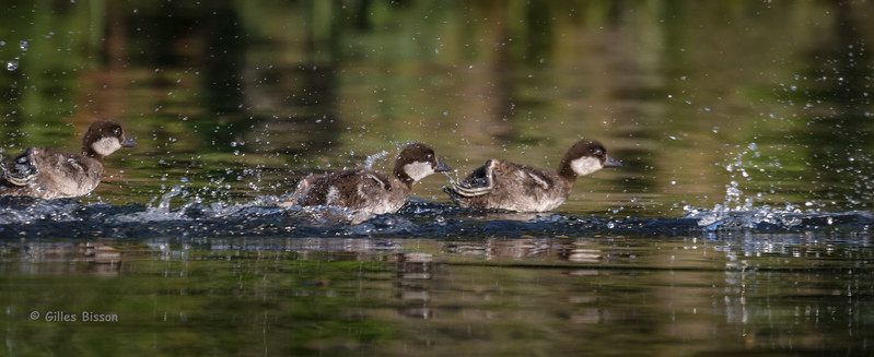 Common Goldeneye Ducklings, July 08 2015, Remi Lake, Rene Brunelle Provincial Park, Moonbeam Ontario, Canon 7D Mark II, 100-400mm, 1/1000, F7.1, ISO 400