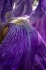 Flower from Quinte Botanical Gardens, June 09, 2019, Canon 7D Mark II, 100mm macro, 1/250, F18, ISO 500