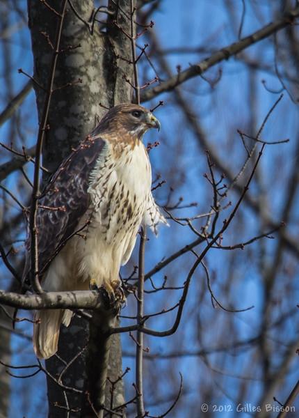 Red-tailed Hawk, November 06 2012, Prince Edward County