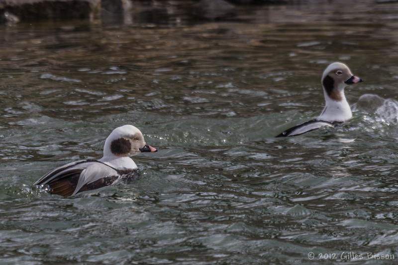 Long-tailed Ducks, Feb 28 2012, Wellington