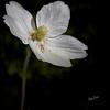 Flower from Quinte Botanical Gardens, June 09, 2019, Canon 7D Mark II, 100mm macro, 1/250, F7.1, ISO 100