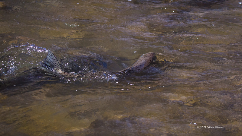 Rainbow Trout swiming to the fish ladder in Port Hope, April 23 2013 #3755