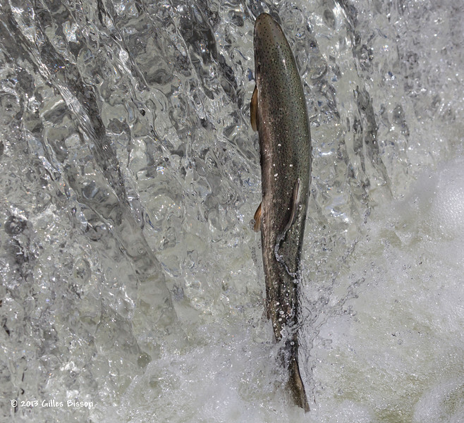 Rainbow Trout going up the fish ladder in Port Hope, April 23 2013 #4144