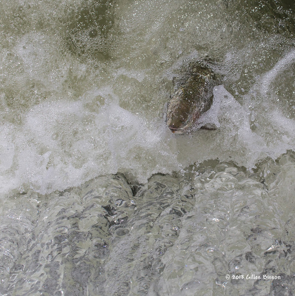 Rainbow Trout going up the fish ladder in Port Hope, April 23 2013 #4201