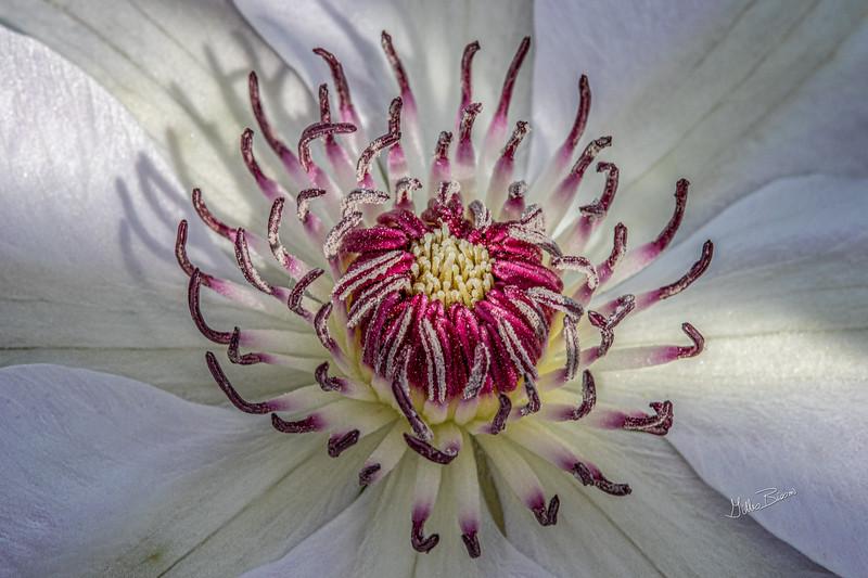 Flower from Quinte Botanical Gardens, June 09, 2019, Canon 7D Mark II, 100mm macro, 1/160, F14, ISO 500