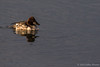 Common Goldeneye - male 1st winter, January 15 2013, Cobourg harbour