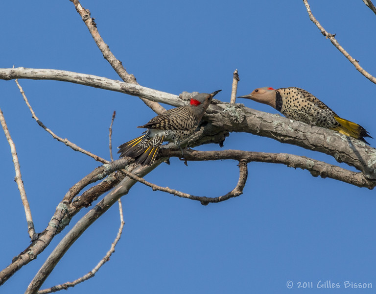 Northern Flicker, June 27 2011, North Beach Provincial Park, Prince Edward County