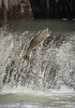 Rainbow Trout going up the fish ladder in Port Hope, April 23 2013 #3922