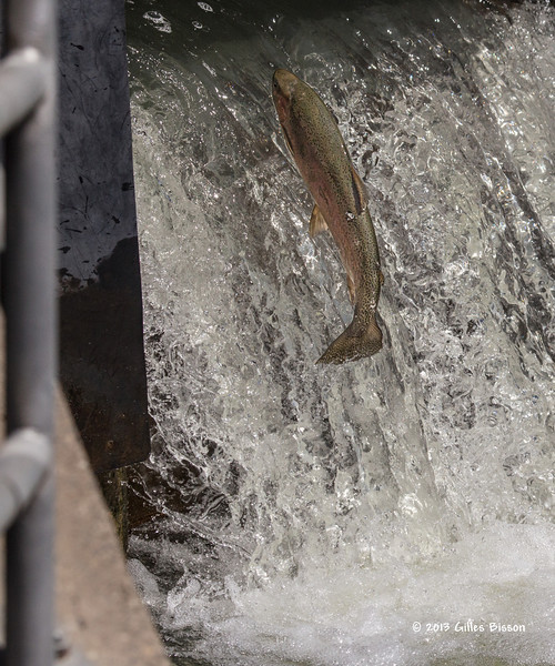 Rainbow Trout going up the fish ladder in Port Hope, April 23 2013 #4098
