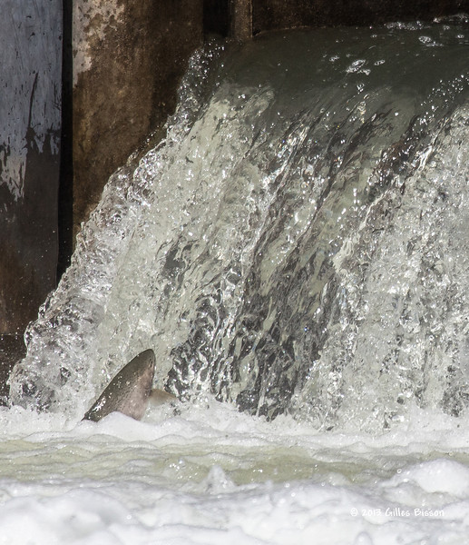 Rainbow Trout going up the fish ladder in Port Hope, April 23 2013 #4016