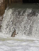 Rainbow Trout going up the fish ladder in Port Hope, April 23 2013 #3861
