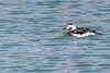 Long-tailed Duck, Female, Jan 29 2012, Wellington