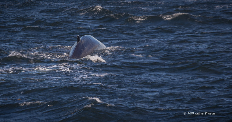 Fin Whale, Tadoussac Quebec, Sept 4 2013, #6372, Canon 6D-100-400mm-1/1250-F8-ISO320-LR5