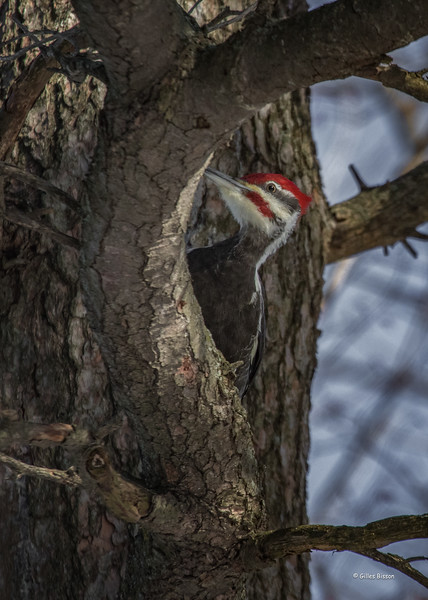 Pileated Woodpecker, Owl woods, Amherst Island, February 2, 2017, Canon 7d Mark II, 400mm, 1/1000 sec, F7.1, ISO 800