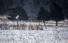 Snowy Owl, Amherst Island, January 18, 2018, Canon 7D MarkII, 400mm, 1/640, F7.1, ISO 250