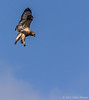 Rough-legged Hawk, November 14 2012, Amherst Island