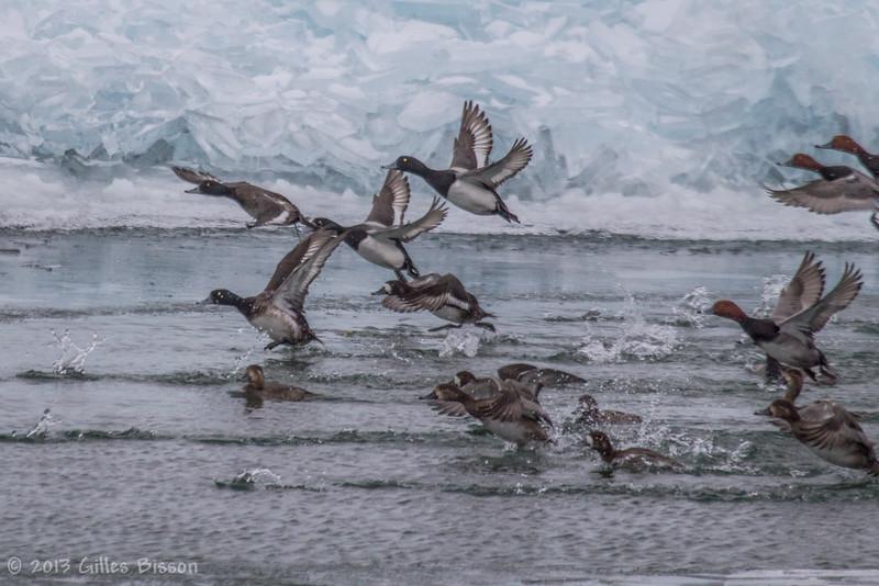 Ducks, Amherst Island, Feb 2013