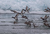 Ducks, Amherst Island, Feb 2013