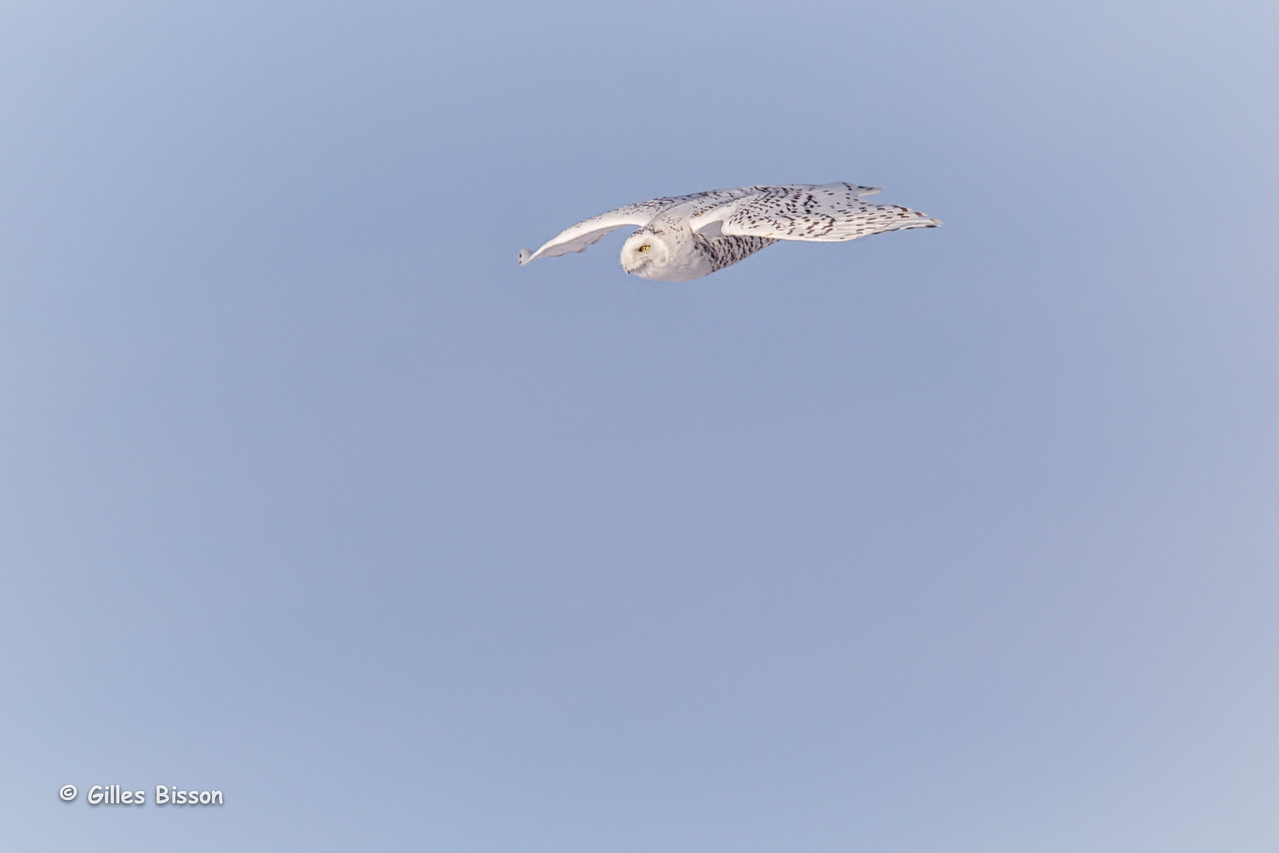 Snowy Owl, Amherst Island, January 21,2015, Canon T3i, 100-400mm, 1/1250,F8.0,ISO200