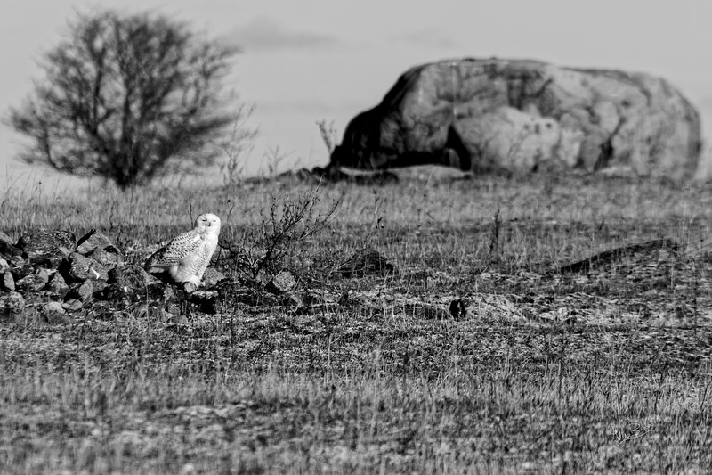 Snowy Owl in Black & White, Amherst Island, December 12, 2018, Canon 7D Mark II, 100-400mm, 1/1600, F9.0, ISO 400